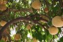 Грейпфрут - райский цитрус