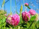 Целебное растение - клевер луговой
