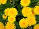 Одуванчик - солнечное лекарство от ста болезней